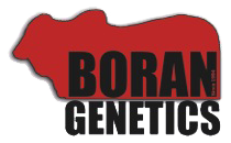 Boran Genetics -breeding-sales-bulls-cows-south-africa-kenya